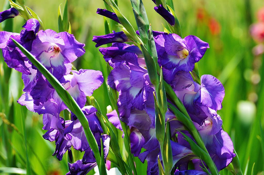 gladiolus-mieczyki