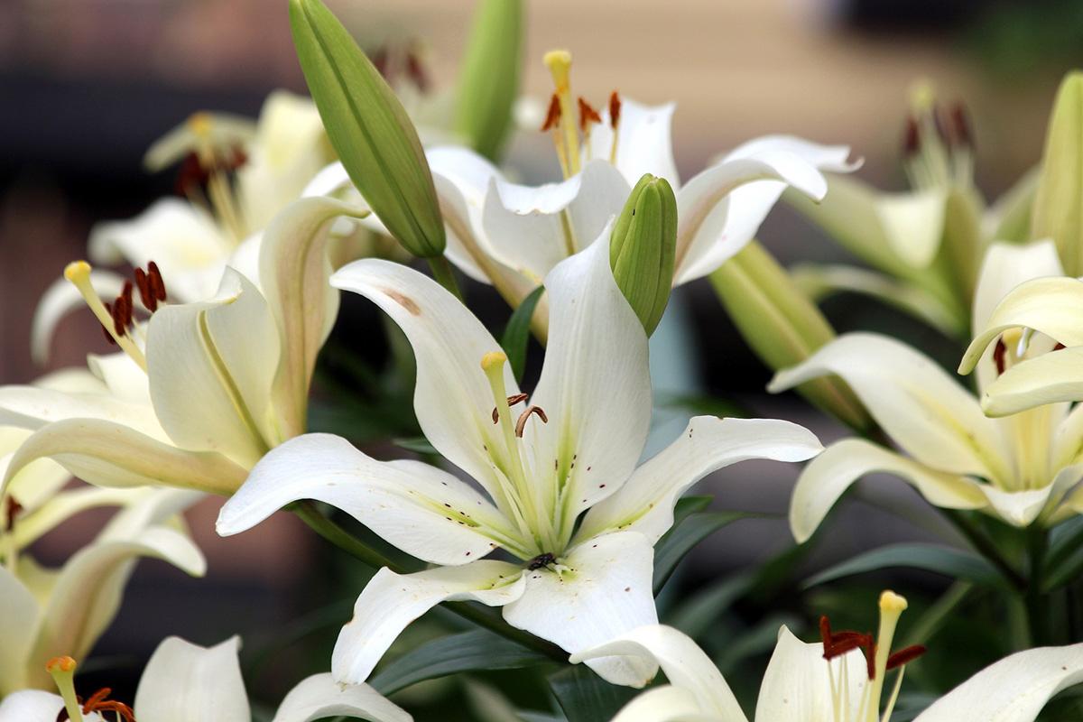 lilie-popularne-odmiany